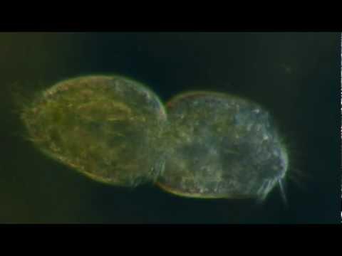Protozoa Binary Fission Asexual Reproduction