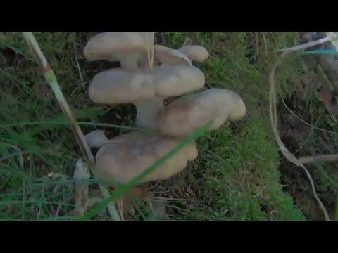 Мицелий вешенки своими руками. Технология выращивания