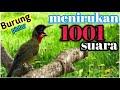 Kicauan Burung Samyong Gacor  Mp3 - Mp4 Download