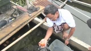 vuclip Haji Yacob Sukses Punya Puluhan Empang Ikan Hias