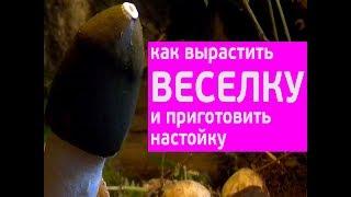 гриб веселка - приготовление целебной настойки, www.grib.tv