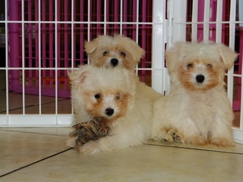 maltese puppies for sale in ms maltese puppies dogs for sale in southaven county 8857