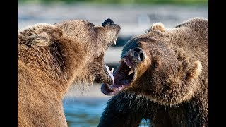 Top 10 Best Bear Fights Animal Fight