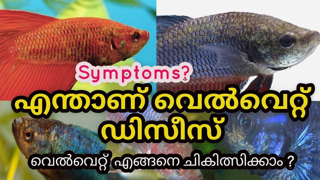 how to treat Betta fish velvet Deseas Malayalam  Velvet Disease Betta Malayalam  Ep115