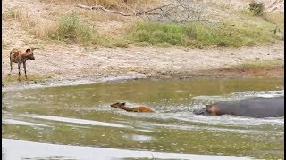 Impala in a Catch-22 Between Hippo and Wild Dog