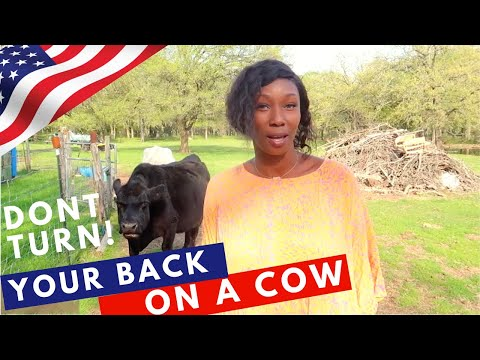 COWS ACTING LIKE PUPPIES 🐄TRAVEL COUPLE PET SITTING AROUND THE WORLD (trusted housesitters)