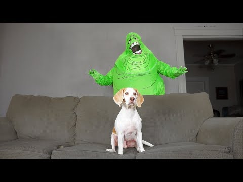 Dog Destroys Slimer: Funny Dog Maymo