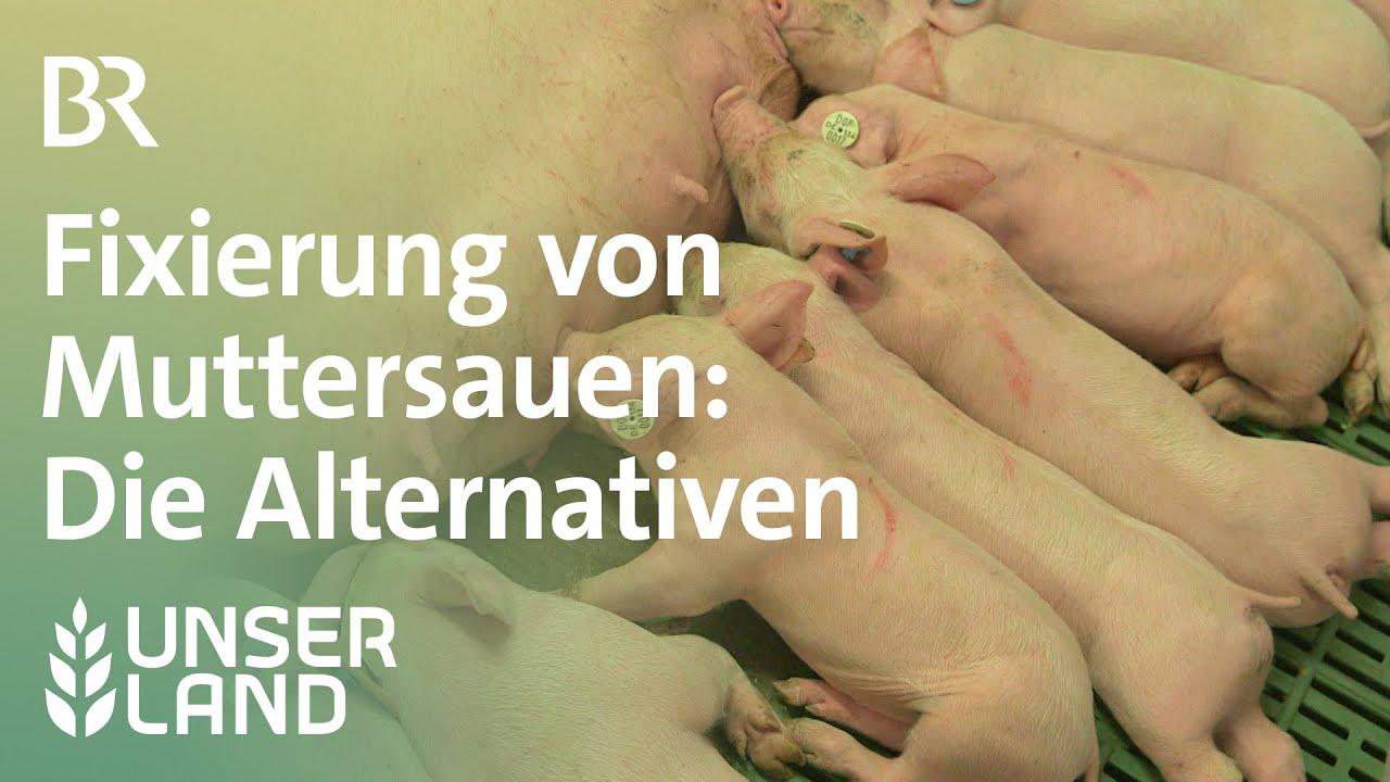 Fixierung von Muttersauen - welche Alternativen gibt es? | Unser Land | BR Fernsehen