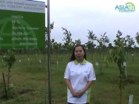 Asia Forestry - Thepnimit Plantation, Trat
