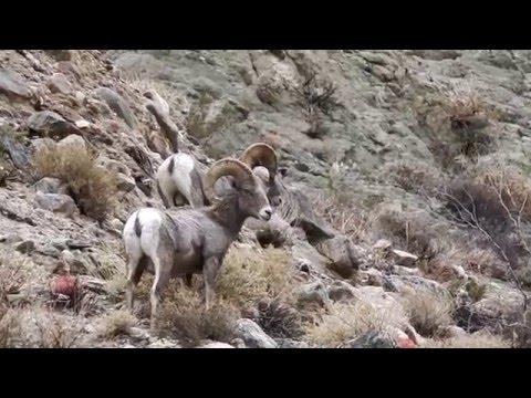 Big Horn Sheep Morongo Valley California