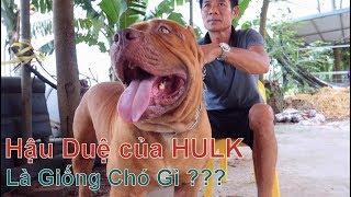 Bạn có Biết về Giống Chó này ??? / BanDog / NhamTuatTV - Dog in Vietnam