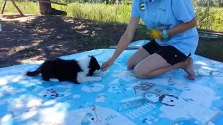 Обучение щенка бордер колли. Первая тренировка. Базовые навыки. Kisses of Angel border collies