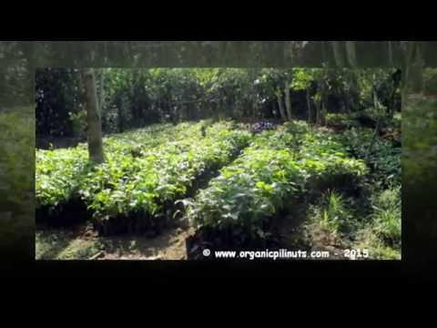 Bech's organic pili nut farm nursery in the highlands