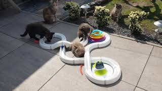 Playtime Maine Coon
