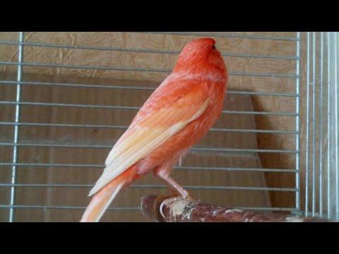 Канарейки пение молодые самцы.Canary Singing