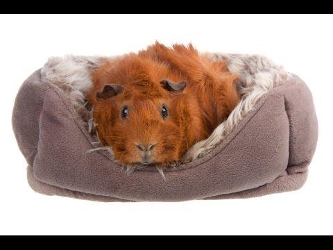 cochons d 39 inde la liti re ideale pour ton cochon d 39 inde. Black Bedroom Furniture Sets. Home Design Ideas