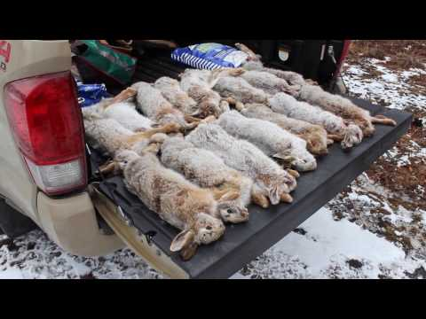Snowshoe Hare Hunting January 21st, 2017.
