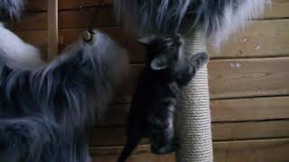 Норвежские лесные котята Yozef On Fashion Peak и Yenni On Fashion Peak, 1,5 месяца