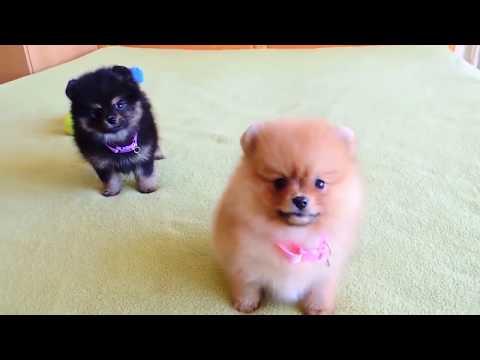 Миниатюрные собачки. Маленькие породы собак.