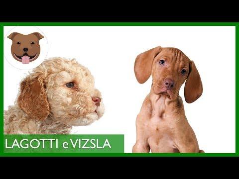Bracco Ungherese (Vizsla) e Lagotto Romagnolo | Cuccioli e prime esperienze