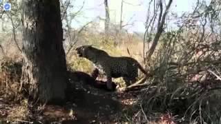 オスのヒョウは南アフリカのクルーガー国立公園に隣接する唯一のハイエ...