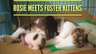 rosie meets foster kittens