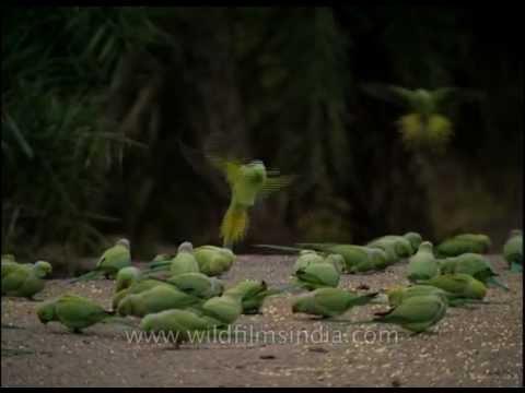 Rose-ringed Parakeets feeding in Sariska National park