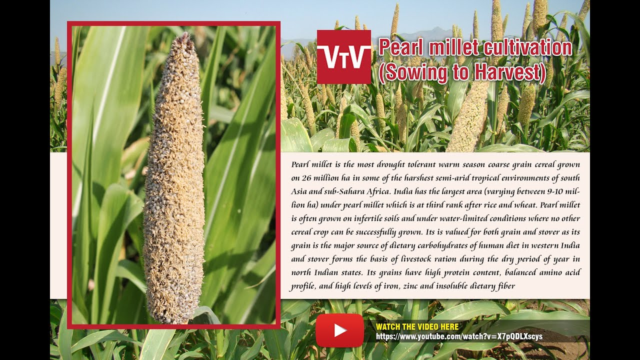 Pearl millet sowing to harvest - YouTube