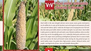 Pearl millet sowing to harvest