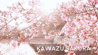 春の訪れ /河津桜【岡山県新見市】