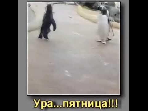 Гифка с пингвином про пятницу наше семейство