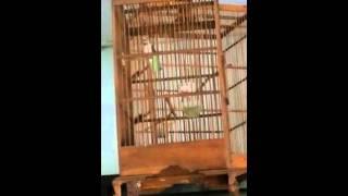 Burung Blackthroatlokal gacor rol panjang