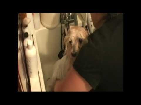 havanese grooming