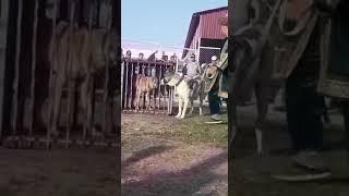 Alabai vs real Wolf reaction test.   Алабай против Волка выстовычные тесты.   Төбет&Қасқыр