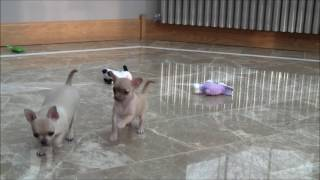 Chihuahua Puppies 8th February 2017