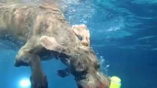 9 Yo Weimaraner Jae Dives Deep Underwater For Pool Toy   Slow Mo 2