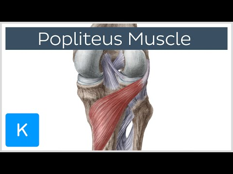 Popliteus Muscle - Function & Anatomy - Human Anatomy |Kenhub
