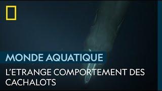 Pourquoi les cachalots ne chassent-ils qu'à 400 mètres de profondeur ?