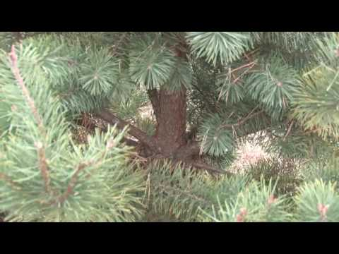 different types of christmas trees youtube - Types Of Christmas Trees