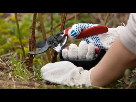 Обрезка ремонтантной малины на зиму