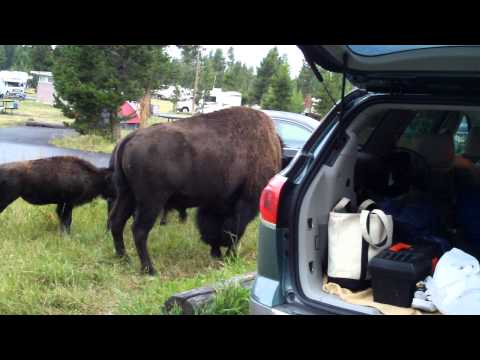 Bison in Yellowstone campsite 2 of 2