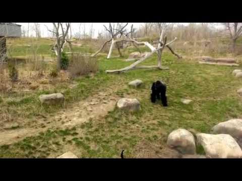 Goose Attacks Gorilla.. LOL!