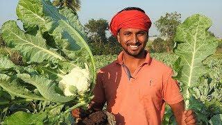 कम खर्चे वाली आधुनिक खेती    Cauliflower Farming    फूलगोभी की खेती