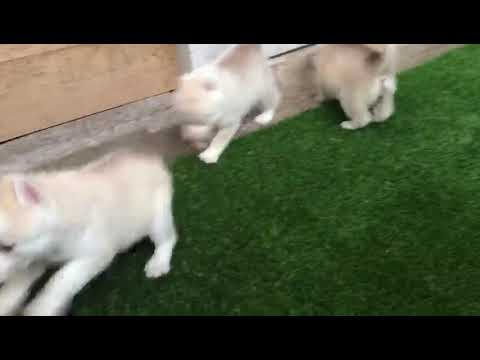 ARM Dog Kennel : Show Quality Siberian Husky Puppies Available For Sale
