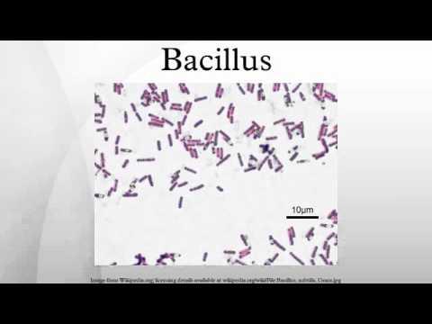 bacillus youtube