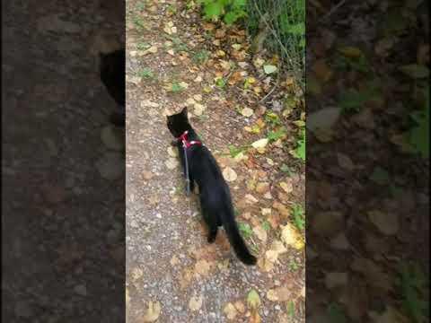 Bombay cat Midnight's nature walk.