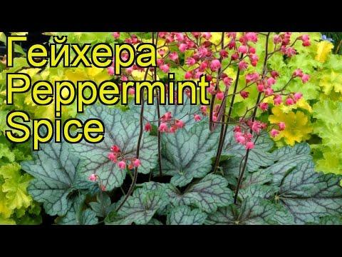 Гейхера Пепперминт Спайc. Краткий обзор, описание характеристик heuchera Peppermint Spice