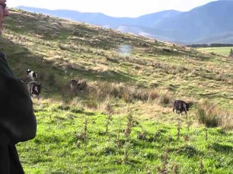 New Zealand dog herding cows