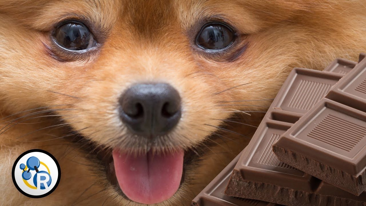 Why Is Chocolate Deadly for Dogs? - YouTube