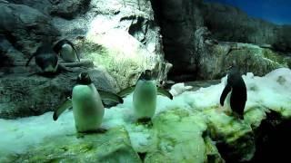 海遊館のペンギン達に悲劇が訪れます。パニック後の定位置に戻るペンギ...
